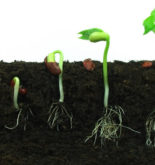 Germination of a seed
